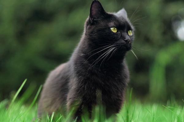 soñar con un gato negro