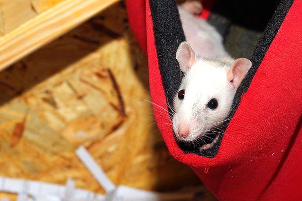 sueños con ratas pequeñas