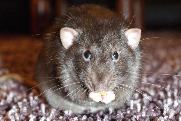 soñar con ratas frecuentemente