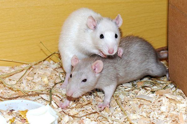 sueños con dos ratas
