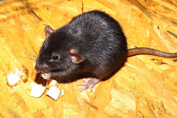 interpretaciones de soñar con ratas negras