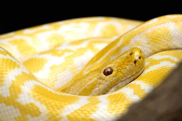 víbora amarilla