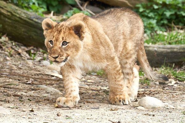 sueños en los que te persiguen leones