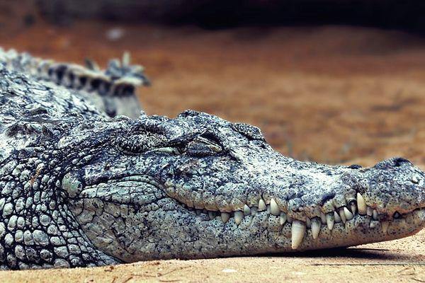 soñar con cocodrilos durmiendo