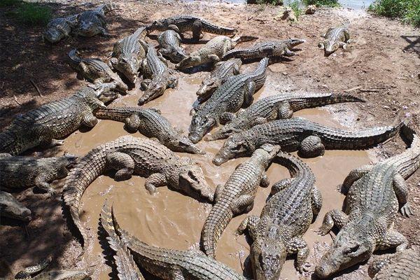 soñar con cocodrilos frecuentemente