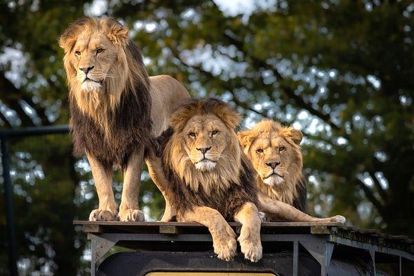 soñar con leones frecuentemente