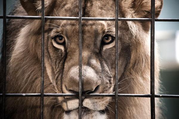 soñar que eres un león enjaulado