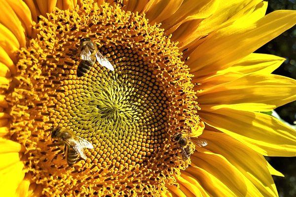 sueños con abejas sobre flores