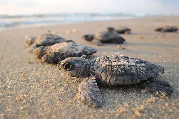 tortugas saliendo del agua